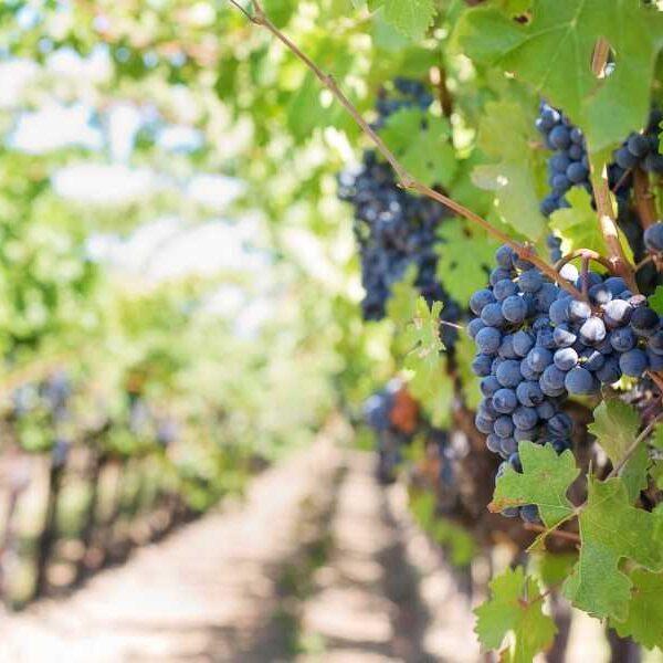 Vineyard and Wine Tasting & Grape Treading Lisbon
